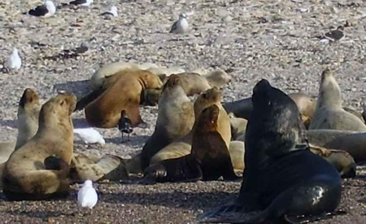 Patagonien Bustamante Seelöwen