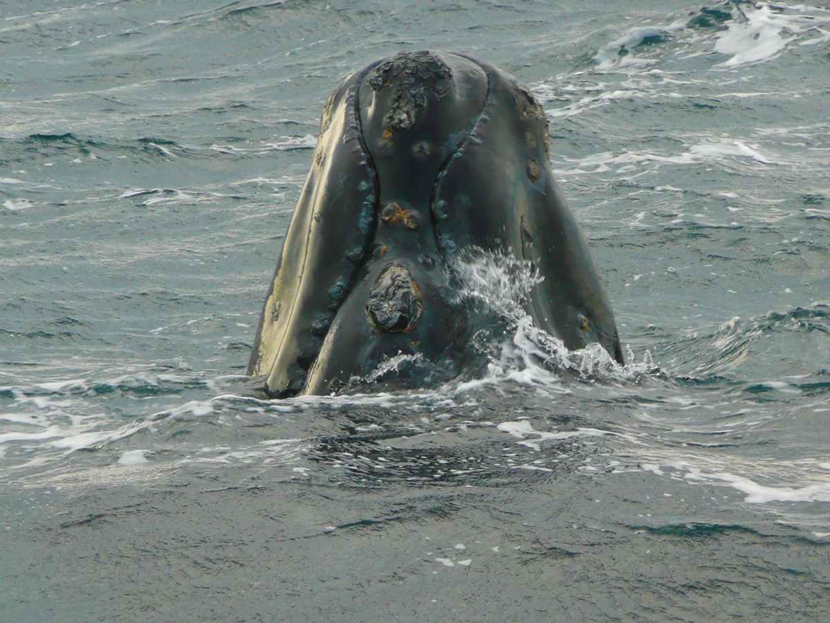 Whale Watching an der Insel Valdéz